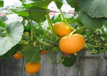 饲用南瓜的栽种管理技术总结