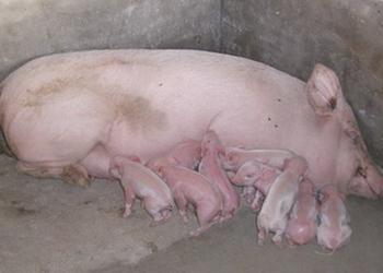 養豬知識:如何縮短母豬產程?
