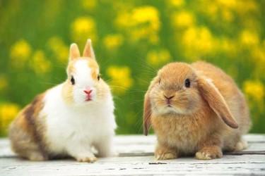 寵物兔飼養有哪些關鍵注意事項?寵物兔管理要點