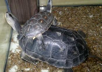 观赏龟的饲养教程(宠物特种养殖)