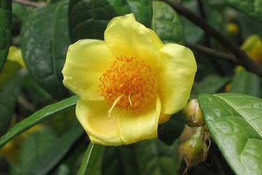 茶品:金花茶栽培種養技術
