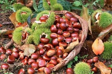 板栗种植创业项目的技术要点及优势分析