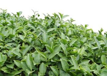 茶葉栽培種養條件有哪些?