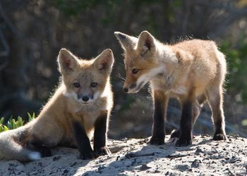 狐貍飼養的注意事項-狐貍養殖關鍵要點