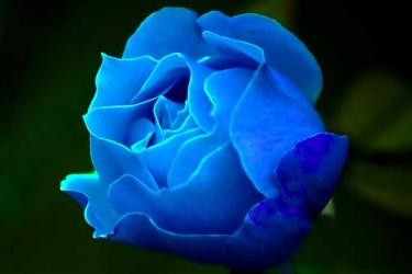 藍玫瑰的花語與故事傳說是什么?附歌曲