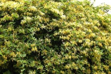 金银花栽植种养技术(中草药种植)