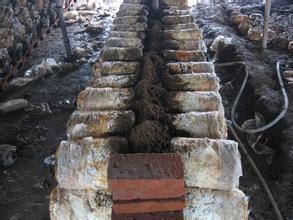 平菇的墻式覆土栽種技術介紹