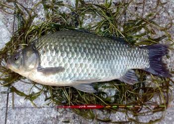 垂釣:春夏秋冬釣鯽魚餌料配方和釣法技巧
