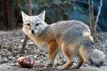狐貍貉子飼養十不喂的飼喂管理原則