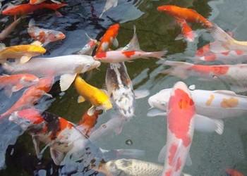 锦鲤和草金鱼的区分辨别
