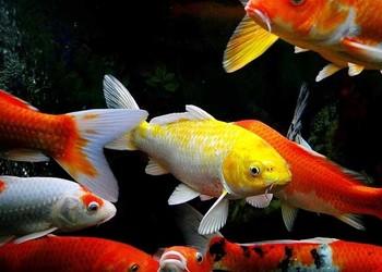 觀賞魚:錦鯉白點病怎么治?