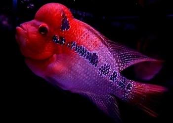 观赏鱼:罗汉鱼疾病防治技术