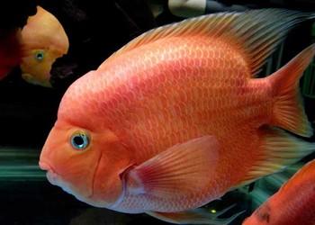 觀賞魚:鸚鵡魚和什么魚混養好?
