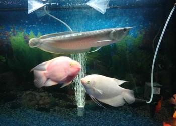 銀龍魚腸炎的癥狀介紹(養觀賞魚)