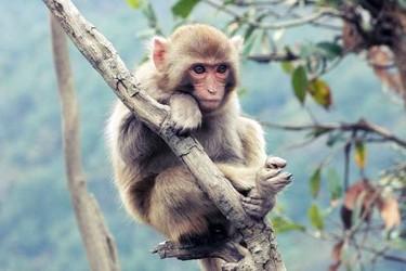 生物科普:猴子的尾巴有什么作用