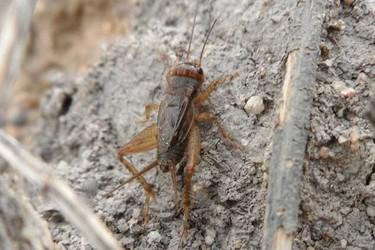 生物科普:蟋蟀是益蟲還是害蟲