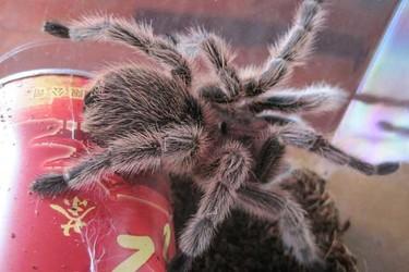 生物科普:火玫瑰蜘蛛壽命是多長