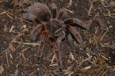 生物科普:火玫瑰蜘蛛咬人吗?