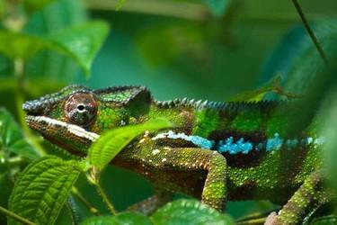 生物科普:變色龍為什么會變色
