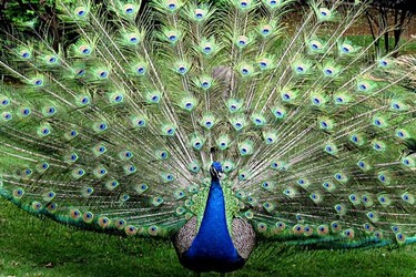 生物科普:孔雀開屏是什么意思