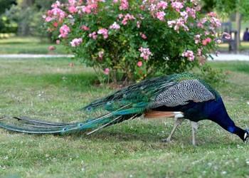 宠物特种养殖知识:孔雀会不会飞