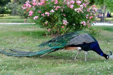 寵物特種養殖知識:孔雀會不會飛