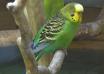 寵物知識:虎皮鸚鵡怎么分公母?