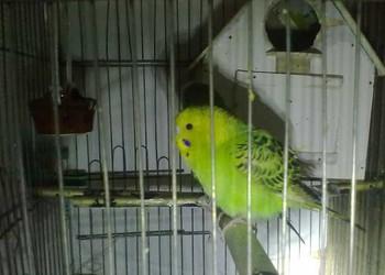 观赏鸟:虎皮鹦鹉繁育箱的制作方法