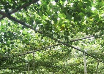 果树:罗汉果的栽培种养技术(视频资料)
