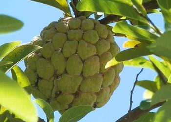 釋迦果和番荔枝的區分辨別