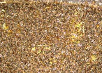 中蜂囊状幼虫病防治技术(养蜂专题)