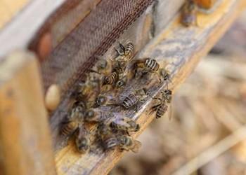 (養蜂)蜜蜂麻痹病預防技術手段