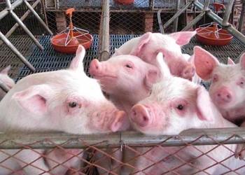 飼料配制及科學養豬管理技術資料