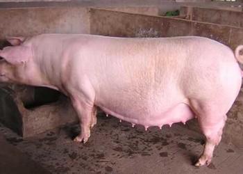 母豬各階段飼料配方(養豬)