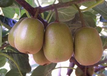 獼猴桃根的藥用功效與藥膳作用