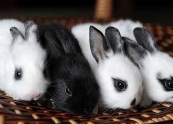 养兔:熊猫兔如何养最好?