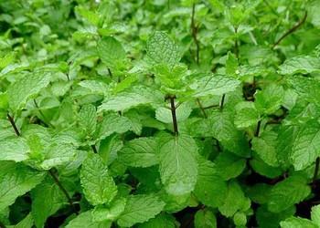 留蘭香(綠薄荷)的功效與藥膳作用
