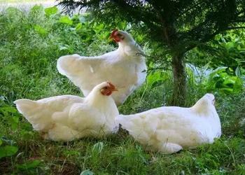 產蛋雞的日常管理工作……轉群、換羽、飼喂