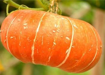 瓜果菜:金瓜和南瓜怎样区分辨别?