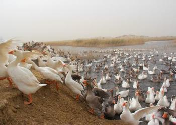 粗纤维+NSP酶在养鹅中的重要作用