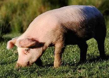 (养家畜)猪群营养水平影响自身抵抗力