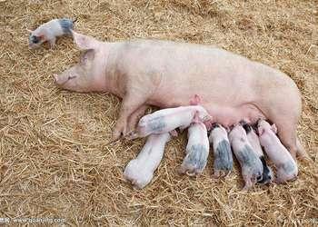 養豬:母豬分娩護理的關鍵技術