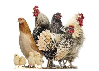 家禽养殖饲料中的维C的作用与特点