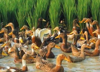 80后小伙弃事业编制做农民 到徐州小岛种稻养鸭