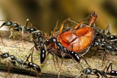 養土元:土元蟻害的防治對策