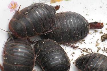 養土元:土元螨蟲病的防治