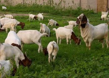 80后女大學生回鄉創業養羊 創收10多萬元