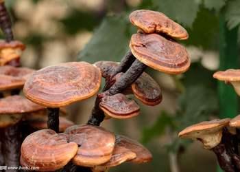 大棚立體栽培靈芝技術(蘑菇專題)