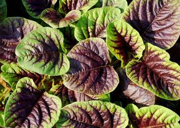 蔬菜生产:苋菜栽种技术要点