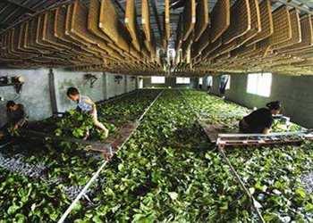 養蠶:春小蠶共育飼養技術要點